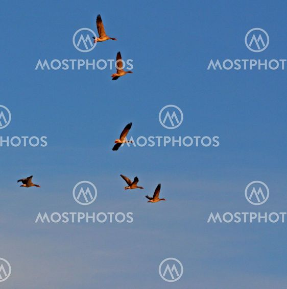 Geese_10