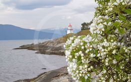 Fruit blossom on the Sognefjord