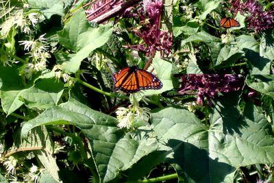 Butterflies enjoing flowers