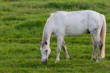 Vit häst på sommarbete vid havet - Silvertid
