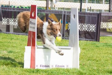Red border collie in Flyball