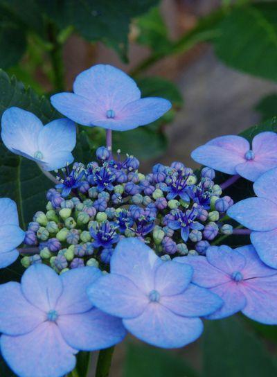 Hydrangea Blooming