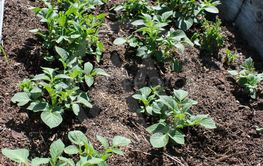 Odla potatis i pallkrage
