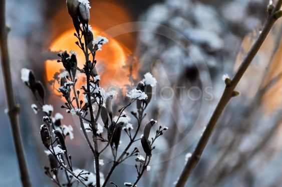 Frosty seeds of lilac, the morning sun