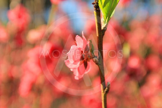 Flowers in spring series: plum blossoming in spring, it...