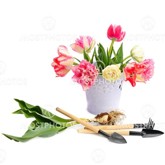 Tulips bouquet and gardening tools isolated on white .
