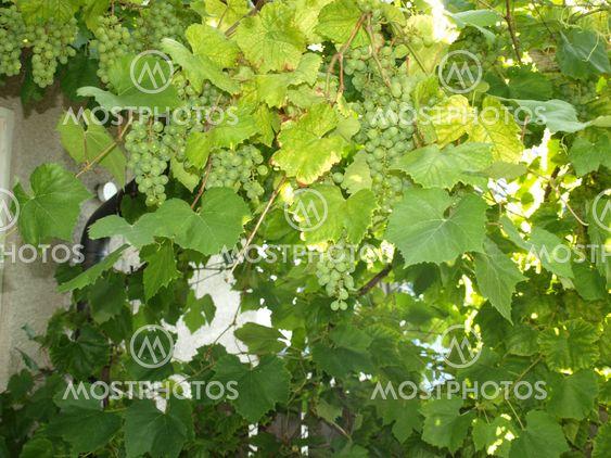 Erien viinirypäleiden