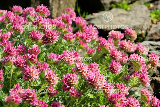 Wundklee - Anthyllis montana 01