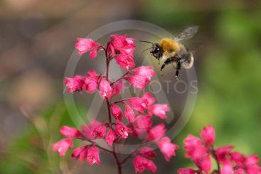 En humla som flyger till en blomma