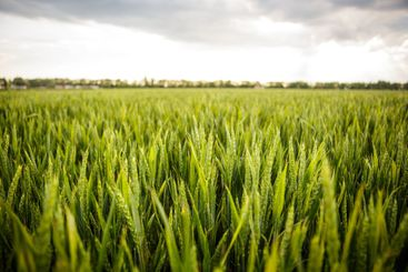 Green grass ears of wheat swaying in the wind blowing...