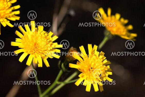 Hawkweed Yellow Flower