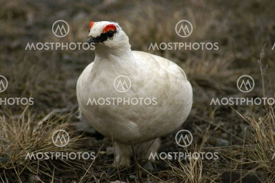 Svalbard rock ptarmigan(male)