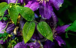 Purple beautiful flower Clematis Jackmanii.drop of water...