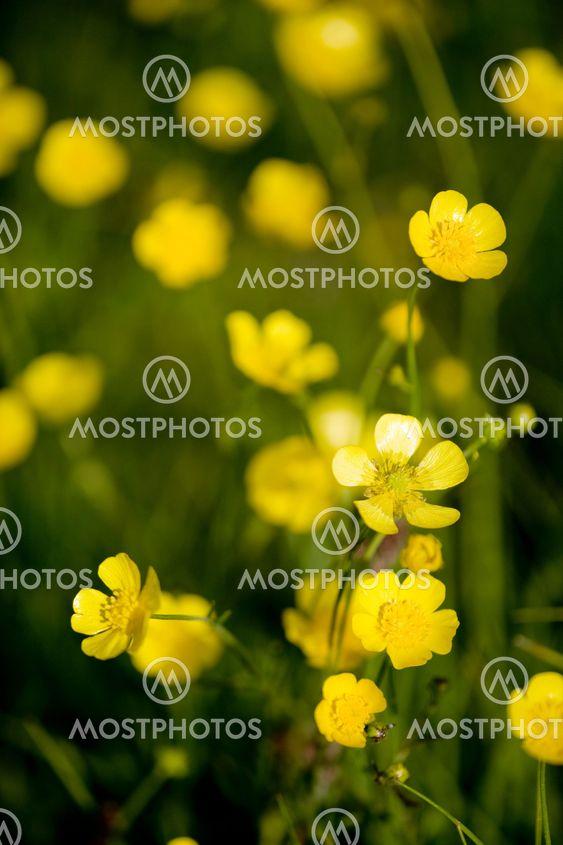 Buttercup blomma