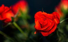 Red rose petals against dark background.