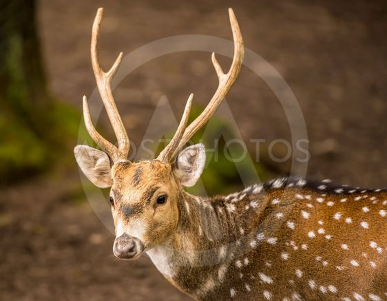 Spotted deer buck portrait image