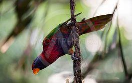 Beautiful lori parrot in aviary