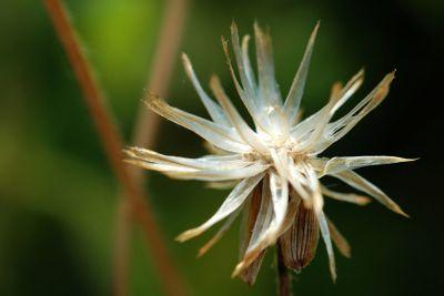 Seed of tridax procumben