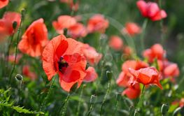 Beautiful red flower - poppies. Natural colorful...