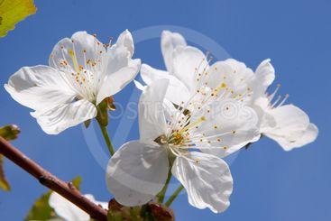 apricot flowers on the branch