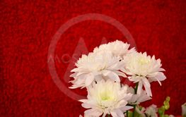 White flower with red background