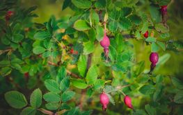 Ripe red rose hips on the branches. Red brier berry on...