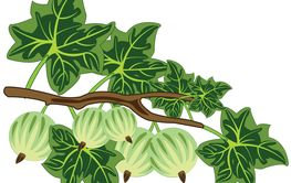 Vector illustration of the ripe berry gooseberry on branch