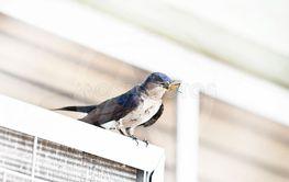 Bicolor swallow