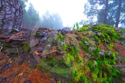 spain,canary islands, la palma : moss and needles pine on...