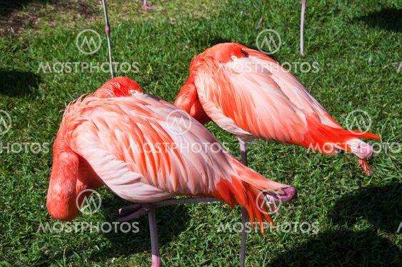 Pari Nukkuma-Flamingoes