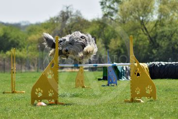 Bearded Collie Agility intensive training