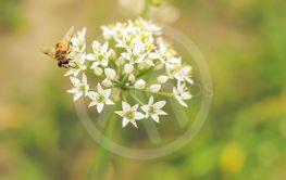Small wild bee on flowering wild garlic allium ursinum