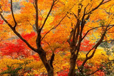 Autumn colorful at Arashiyama