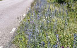 Blåelden blommar i en vägkant i Södra Ölands...