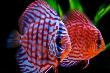 red turkoise discus