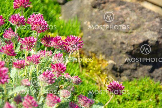 Wundklee - Anthyllis montana 07