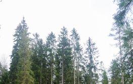 Skogsväg till växande granskog