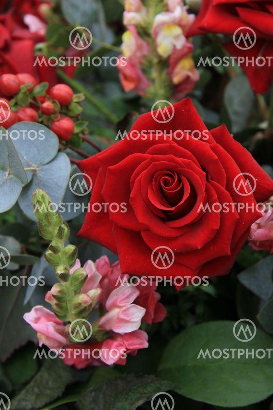 Yhtenäinen Punainen ruusu