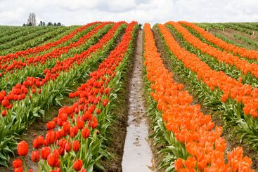 Red and Orange Tulip Rows