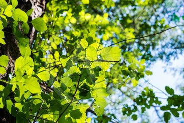 Looking up to a Poison oak vine climbing on a tree...