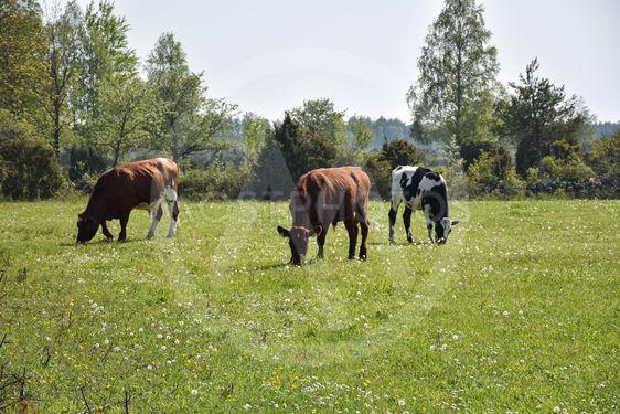 Betande boskap i ett vårgrönt landskap på Öland