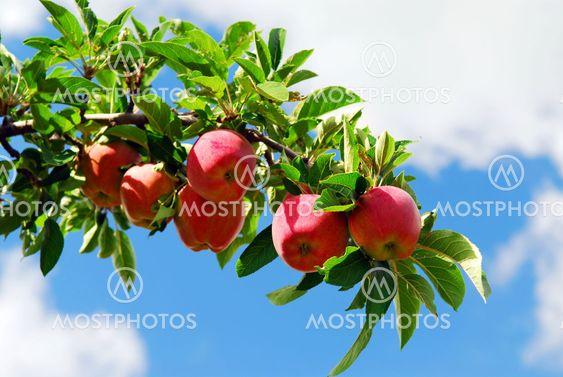 Æbler på en gren