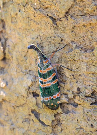 lanternflies insect