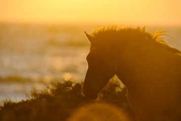 Silhouette of a horse by the ocean at sunset