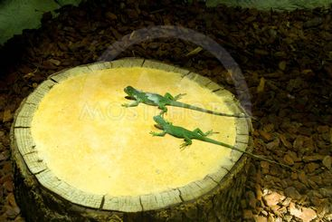 Two green lizards on a stub