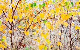 closeup of bright frosty yellow and green birch leaves...