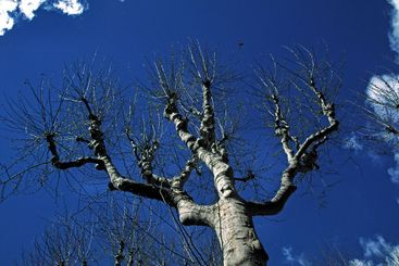 Plane tree in Provence, Platane in der Provence