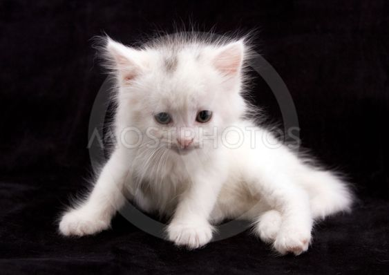Young white kitten in front of black background