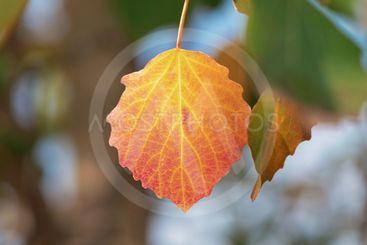 Yellow aspen leafs during autumn, closeup