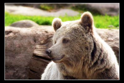 Brownbear